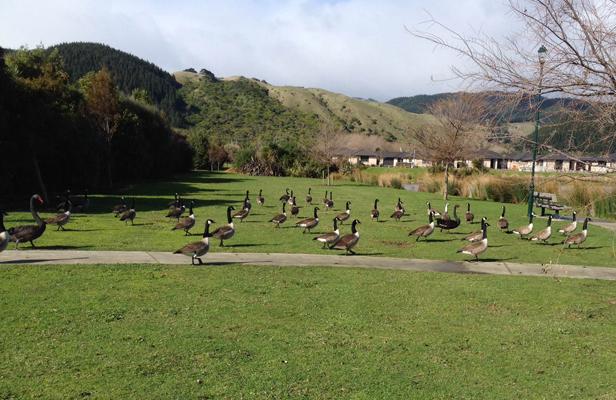 Park or wild goose habitat? NZ
